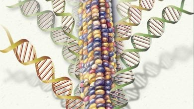 CHINESE RESEARCHERS PINPOINT MAIZE GENE FOR MALE STERILITY - اخبار زیست فن