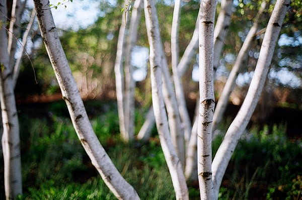New way of producing useful compounds from birch for the cosmetics industry - اخبار زیست فن