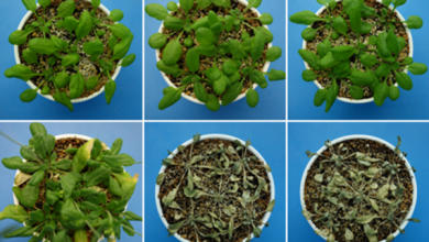 Photo of جلوگیری از خشک شدن گیاهان با هورمونی جدید