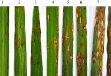 Photo of توقف افزایش مقاومت به هوا زدگی در برنج نتیجه بیان بیش از حد OSTPS19