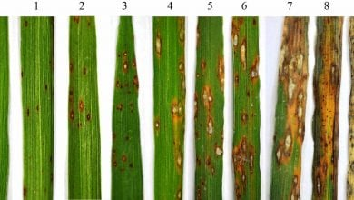 OVEREXPRESSION OF OSTPS19 CONFERS ENHANCED RICE BLAST RESISTANCE - اخبار زیست فن