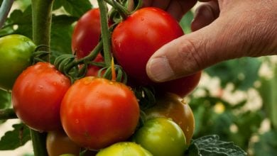 Photo of RESEARCHERS INCREASE LYCOPENE CONTENT IN TOMATO