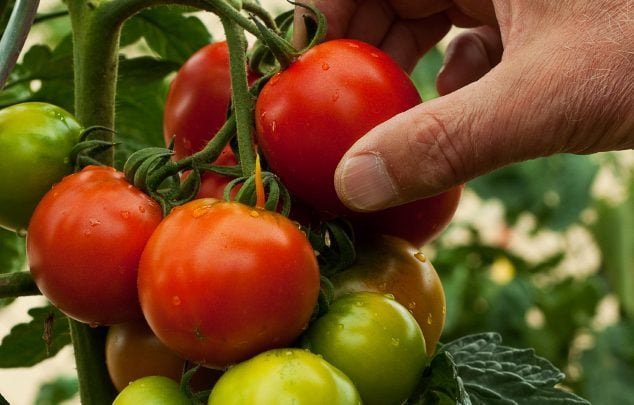 RESEARCHERS INCREASE LYCOPENE CONTENT IN TOMATO - اخبار زیست فن
