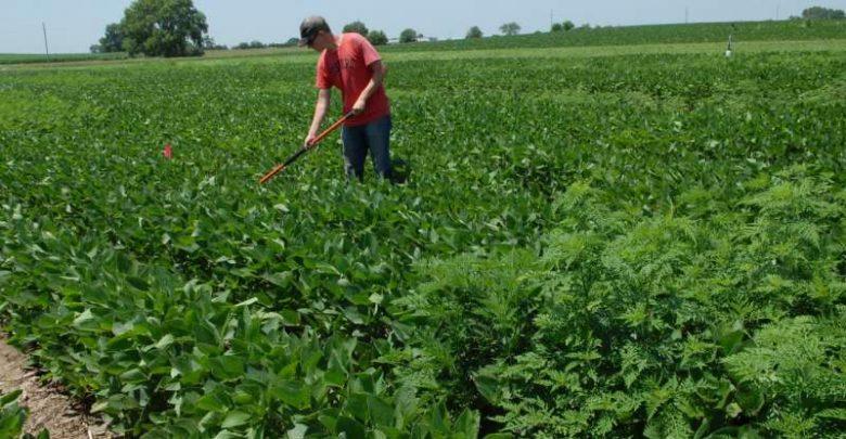 Ragweed casts shade on soy production - اخبار زیست فن