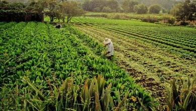 Photo of مطالعه روی ادراک کشاورزان برزیلی با توجه به محصولات GM