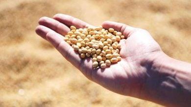 Soybean genomes unmasked - اخبار زیست فن
