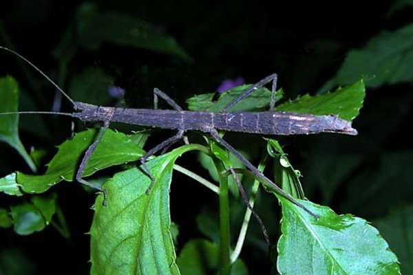 Stick bugs alter decomposition rates by modifying litter bacteria - اخبار زیست فن