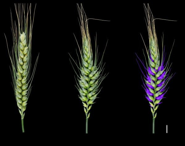 Wheat research discovery yields genetic secrets that could shape future crops - اخبار زیست فن
