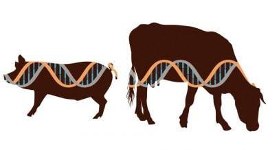 Photo of توقف تحقیقات CRISPR روی حیوانات غذایی با مقررات ویرایش ژن FDA
