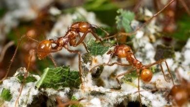 Photo of Farming fungi in a new Azteca ant colony