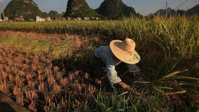 به گفته یک گروه پژوهشی بین المللی که نمونههای برنج جمع آوری شده از آزمایشهای میدانی را مورد بررسی قرار دادند، کاهش ارزش غذایی برنج با افزایش سطح CO2 در ارتباط است.