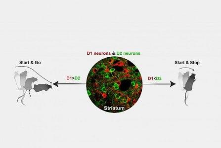 نورونهای دوپامینرژیک D1 و D2