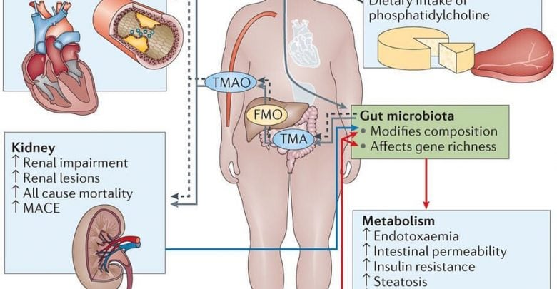 New link between gut microbiome and artery hardening discovered