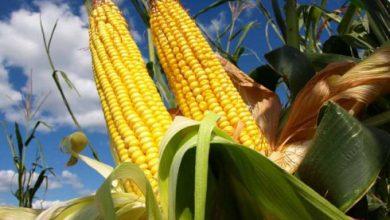 Photo of بررسی بازدهی کشاورزی ارگانیک در مقایسه با روش سنتی