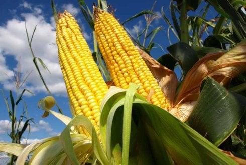 محققان نشان دادند که پس از 13 سال کشاورزی ارگانیک، مقدار محصول در کشاورزی ارگانیک برابر با کشاورزی سنتی بوده است.