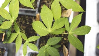 Photo of Cassava breeding hasn't improved photosynthesis or yield potential