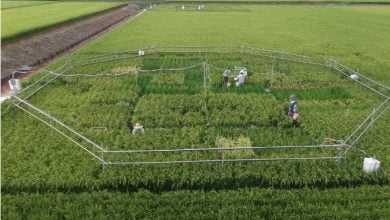 Photo of Increasing CO2 Levels Reduce Rice's Nutritional Value