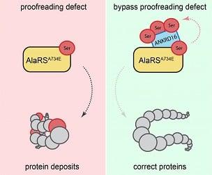 جلوگیری از تجمعات پروتئینی با کمک ژن Ankrd16