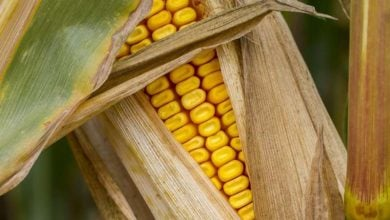 Photo of Researchers discover how corn breaks genetics laws