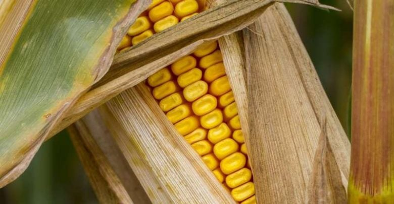 Researchers discover how corn breaks genetics laws - اخبار زیست فن
