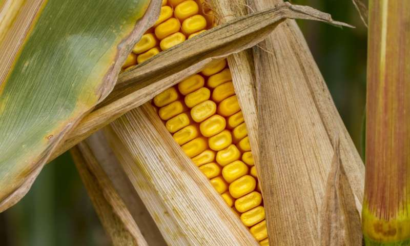 Researchers discover how corn breaks genetics laws - اخبار زیست فن