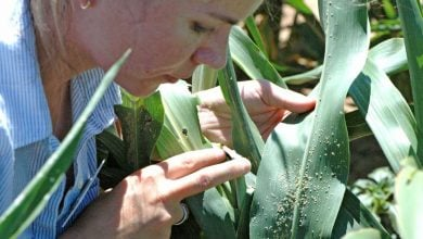 Photo of Resistant varieties, beneficial predators can help producers win sugarcane aphid battle