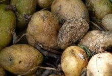 Solanine in potatoes Green and strongly germinating potato tubers should be sorted out - اخبار زیست فن