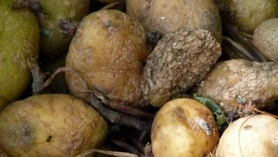 Photo of Solanine in potatoes: Green and strongly germinating potato tubers should be sorted out