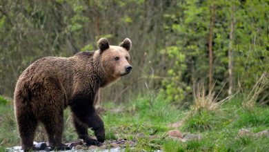 Photo of Scientists use forensic technology to genetically document infanticide in brown bears