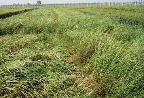 گندم نان به دلیل سازگاری با طیف متنوعی از شرایط آب و هوایی، و تامین آرد با کیفیت و مرغوب، همواره جزو گیاهان استراتژیک و مهم محسوب می شود.