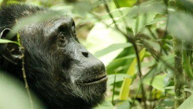 Photo of خاصیت دارویی غذای شامپانزهها