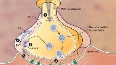 کمک سلولهای شوآن در پیشگیری از خستگی عضلانی