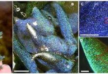 کشف نوع جدیدی از سنگ اپال، تشکیلشده توسط جلبک دریایی