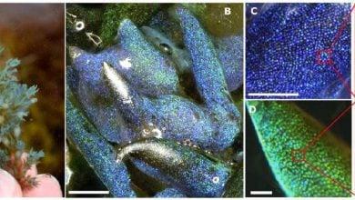 Photo of کشف نوع جدیدی از سنگ اپال، تشکیلشده توسط جلبک دریایی