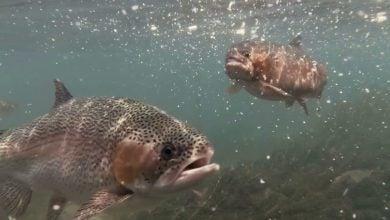 Photo of تأمین پروتئین خوراک ماهی با استفاده از مخمر خشک