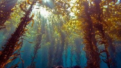 Photo of کاهش پوشش جلبک کلپ تهدیدی برای بقای گونههای آبزی اکوسیستمهای دریایی