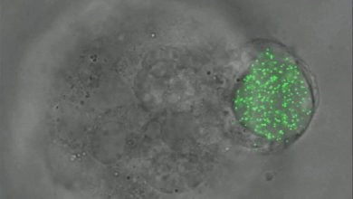 Elastic microspheres expand understanding of embryonic development and cancer cells