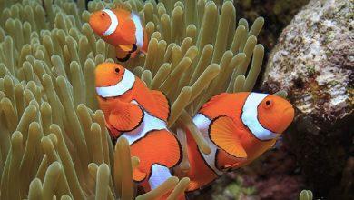 اخیراً ژنوم دلقک ماهی که خیلی ها آن را با نام Nemo می شناسند، کشفشده و برای انجام مطالعات و بررسیهای بیشتر در حوزه بومشناسی و تکامل ماهی، در دسترس محققین قرارگرفته است.