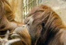 Photo of درک روند تکامل با مقایسه ژنوم انسان و میمون