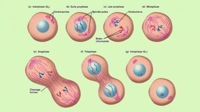 Photo of چه زمانی وقت تقسیم شدن یک سلول است؟