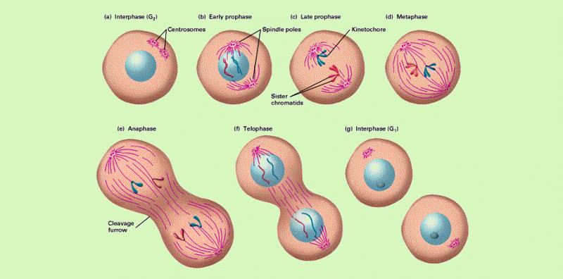 زمان تقسیم سلول ها