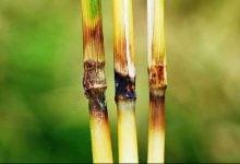 شناسایی ژن عامل بیماری قارچی blast برنج