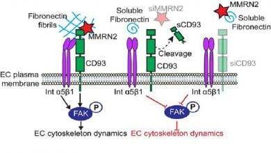 Photo of نقش پروتئین CD93 در مهار سرطان