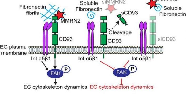 پروتئین CD93 و مهار سرطان