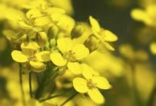 بررسی مطالعات گذشته نشان داده است که قند و انرژی ذخیره شده در بافت های گیاهان دانه روغنی، سنتز روغن دانه را تحت تأثیر قرار میدهد. ازاینرو، محققان ژن بالقوهای برای افزایش میزان روغن کانولا پیداکردهاند.