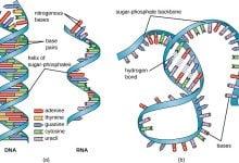 Photo of RNA غیرکدگذاری شده، هدف درمانی سرطان پروستات