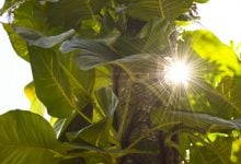 Photo of پاسخ گیاهان به نور زیاد