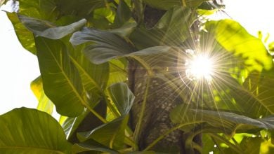 دانشمندان به چگونگی پاسخ گیاهان به نور زیاد پی برده اند
