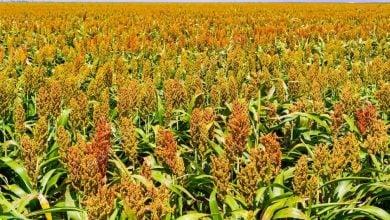 آمار مصارف کشاورزی ذرت