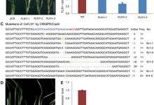 گروه پژوهشی چینی ژنهای تکاملی کلروپلاست در برنج را پیدا کردند.